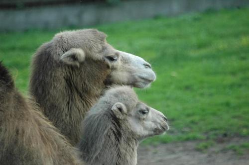 Maly i duzy #wielblad
