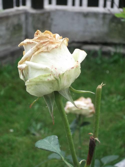 róża.. #krajobraz #kwiat