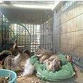 Śpiącej wiewiórce nic nie przeszkadza #Wiewiórki