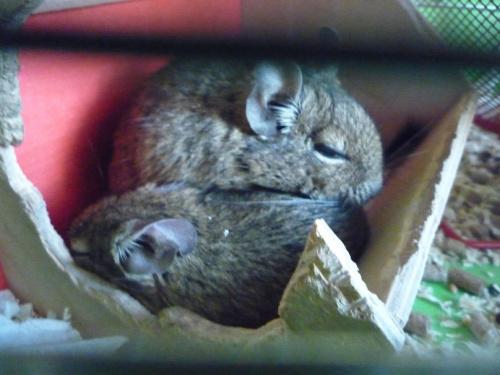 Moje dwie koszatniczki. #zwierzęta #gryzonie #MałeZwierzęta