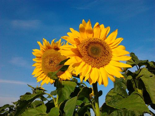 Słoneczniki Gwiazdowo #Rośliny