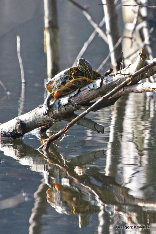 Spotkany w naturze... #żółw #przyroda