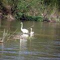 PZK #zielone #wiosna #łabędź #łabędzie #rzeka #rzeką