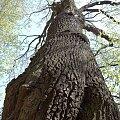 potężne drzewo-czyż nie????? #KazimierzDolny