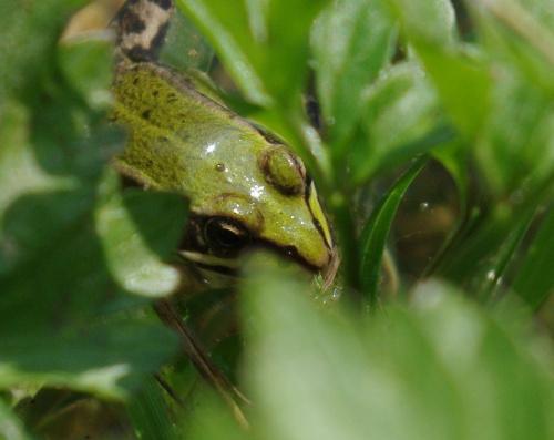 znajdź żabę ;) #bagna #jeziora #natura #płazy #przyroda #rzeki #wiosna #żaba #żaby