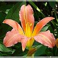 lilie i liowce #kwiaty #lato #LilieILiliowce #ogród