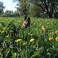 sabuś wśród mleczy #owczarki #pieski #psiaki #psy #OwczarkiNiemieckie #mlecze #kwiaty #kwiatki #KwiatyPolne