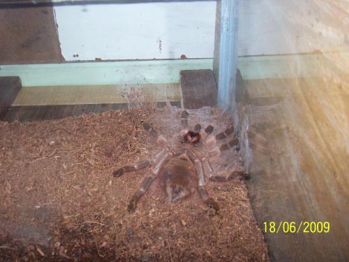 Ona tak lubi sobie czasem polezec ;) N. vulpinus samiczka 7dc