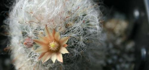 #KaktusKwiat