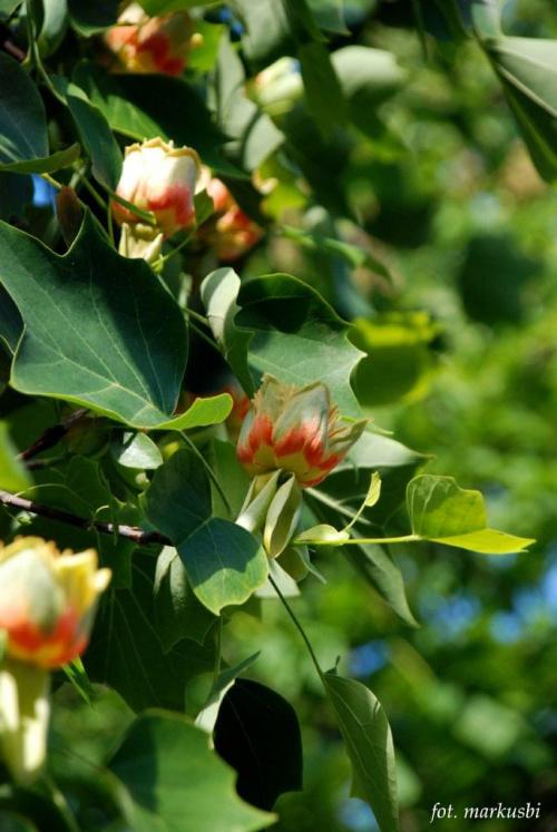 drzewo tulipanowca w moim mieście... #kwiaty