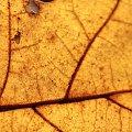 żółty jeseinny liść #komar #liść #macro