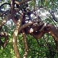 Poplątane drzewa jarzębiny #jarzębina #drzewo #park #skwer