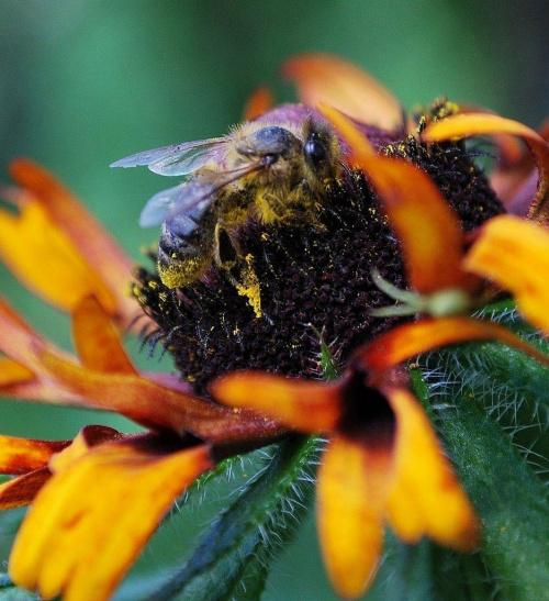 Pszczoła i rubekia #kwiaty #ogródek #owady #przyroda #natura