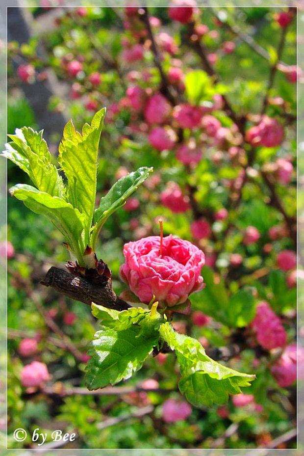 migdałek #kwiaty #migdałek #ogród #wiosna