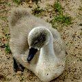 #ŁadędźiePieklę #łabędź #ptak #przyroda #natura #fauna