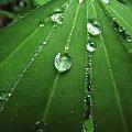 #ogród #rośliny #kwiaty #kwiat #liść #łubin #rosa #woda #deszcz