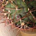 Pąk Gymnola #pąk #gymnocalycium #schikendantzii #kaktus #sukulent