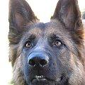 owczarek niemiecki dlugowłosy #owczarek #niemieck #dlugowlosy #miesiecy #pies #psiak