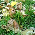 """Wybryk natury - """"dmuchawiec"""" albo inaczej """"mlecz"""" kwitnący jesienią (zdjęcie z dnia 05.10.2008) #mlecz #dmuchawiec #jesień"""