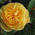 #ogród #rośliny #kwiaty #kwiat #róża #rosa #róże #RóżaAngielska