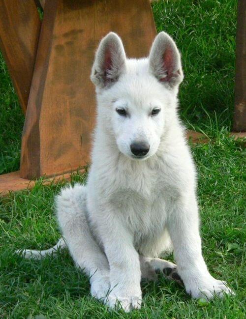 Mailo Białe Wzgórza #pies #psy #rasy #BiałyOwczarekSzwajcarski #hodowle #szczenięta #szczeniki