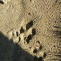 Ślady jakiegoś zwierza #ślad #slad #stopa #odbicie #zwierz #ZwierzakNatura