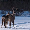 Czyżby rodzinne popołudnie? ;) #sarna #zima #pole #łąka #śnieg #passiv #airking