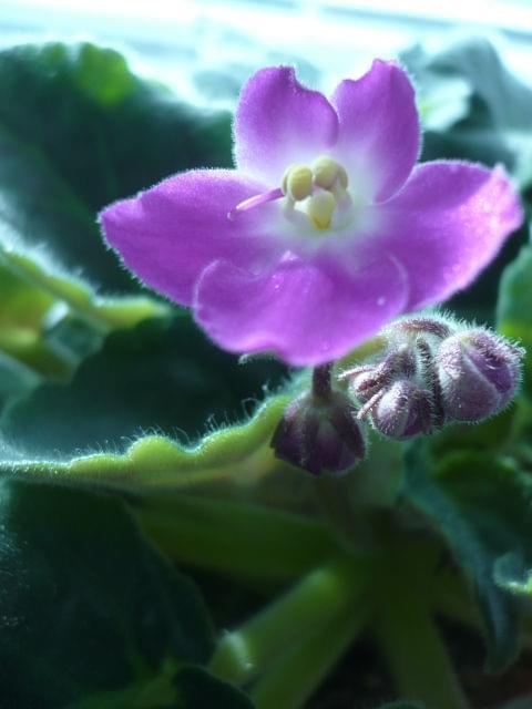 fiołek #fiołek #kwiat #kwiatek #roślina