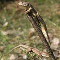 2in1 #jaszczurka #makro #zwinka #gad #wiosna