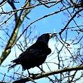 #kawka #kruk #wrona #niebo #drzewo #czarna #chmury