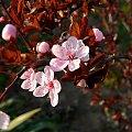 śliwowiśnia II #kwiat #kwiatki #kwiaty #kwiatek #śłiwowiśnia #śliwowiśnie #wiosna #Wiosna2010
