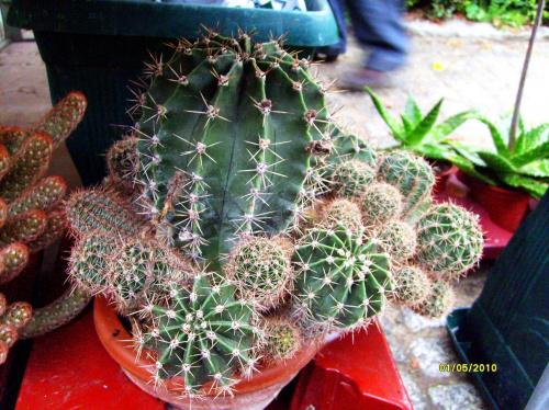 Echinopsis multiplex #echinopsis #multiplex #kaktus #sukulent