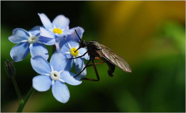 Niezapominajki i ... #Niezapominajki #kwiaty #makro #owady