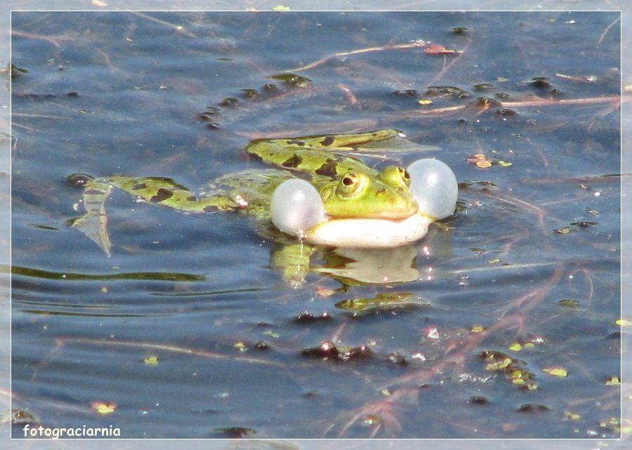 żaby rano 053l.jpg