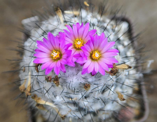 Turbinicarpus roseiflorus-during the flowering