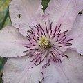 #clematisy #powojniki #pnącza #kwiaty