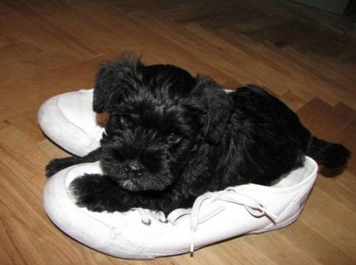 Lubię buty mojego Pana ;)) ! #sznaucer #sznaucerek #miniaturowy #miniaturka #szczeniak #szczenięta #pies #piesek #baby #puppy