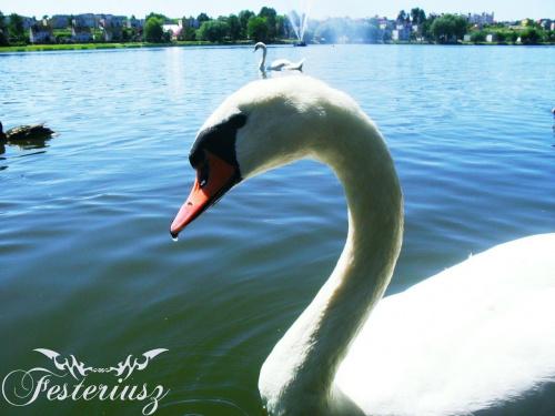 Łabędź pływający w Jezioraku #łabędź #jeziorak #festeriusz
