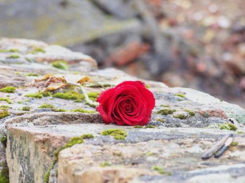 Oświęcim - Ku pamięci #róża #czerwona #oświęcim #obóz #pamięć