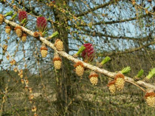 modrzew #drzewo #kwiat #modrzew #wiosna
