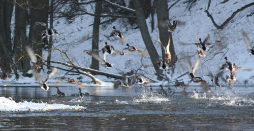 Rzeka Brda - 25.02.2011 - zdjęcie z samotnego spływu kajakowego. #Brda #ptactwo #kaczki