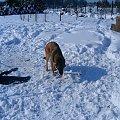 Dobry snieg tylko troche zimny. #melka #zima #pies #dog #suka #suczka #młody #szczeniak #mróz #snieg #zaspy #szalenstwo #szaleństwo #uszy #nos #piesek #gryzon #luty #piesio #owczarek #niemiecki #ogon #łapy #zabawa