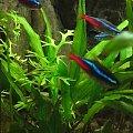 Neony - Neon czerwony Neon czerwony - Paracheirodon axelrodi Neon inesa - Paracheirodon innesi #Neon