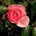 Wszystkim Izabelom w Dniu Imienin z najlepszymi Życzeniami #róża #imieniny #Izabela #Izabella #kwiat