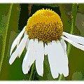 Rumianku kwiat, zawsze mi się podobały, w kazdej fazie rozwoju! #namalowane #MojePrace #rumianek #PSP