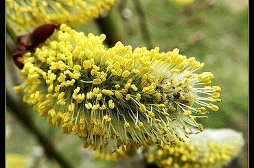 bazie #bazie #natura #wiosna