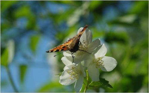Motyl i jaśmin... #Motyl #jasmin #makro
