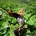 Rezerwat w Śnieżnych Kotłach to kolorowy raj dla oczu..również motylich :) #góry #Karkonosze #rezerwat #ŚnieżneKotły