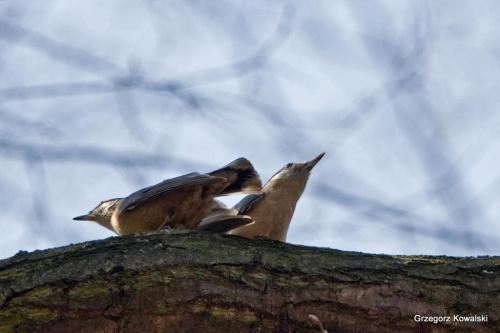 Kowaliki w tańcu godowym #ptaki #kowalik #wiosna #przyroda #natura